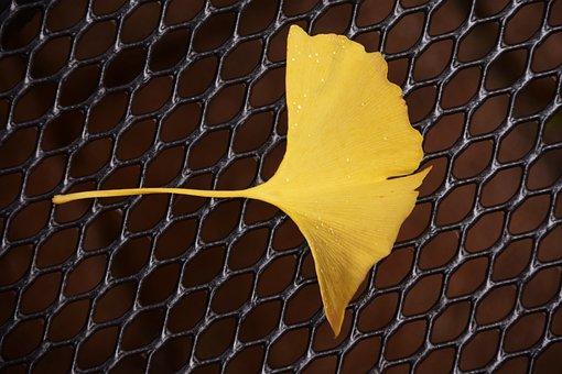 Ginkgo, Ginkgo Leaf, Autumn, Flora, Welkes Sheet