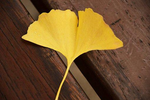 Ginkgo, Ginkgo Leaf, Yellow, Autumn, Welkes Sheet