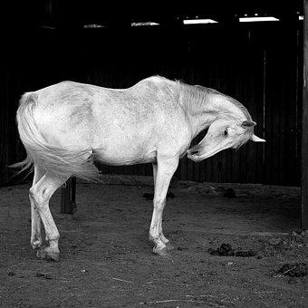 White, Horse, B W Photography