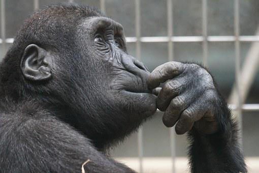 Primate, Ape, Thinking, Mimic, View