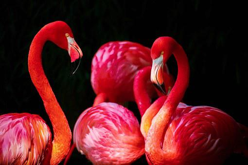 Flamingo, Phoenicopterus, Flamingos