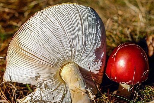 Fly Agaric, Mushroom, Toxic, Lamellar, Hell, Hat, Red