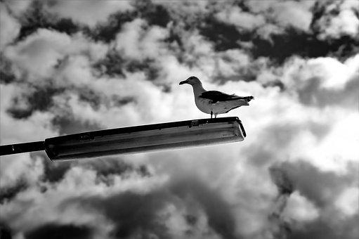 Seagull, Lamp, Sky, Bird, B W, Waterfowl, Street