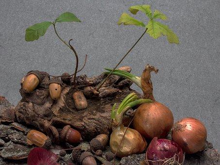 Acorns, Germination, Seedling, Oak Seedling, Onion