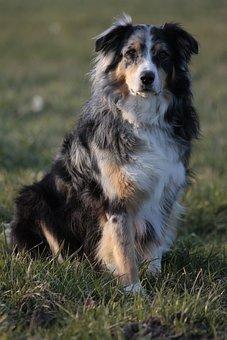 Australian Shepherd, Dog, Pet, Animal Portrait
