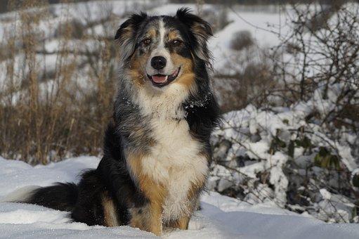 Australian Shepherd, Dog, Pet, Blue Merle