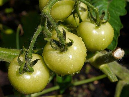 Tomato, Vegetable, Food, Fresh, Healthy, Organic, Red