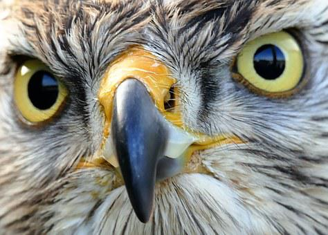 Bird Of Prey, Hawk, Bird, Prey, Beak, Wild, Nature