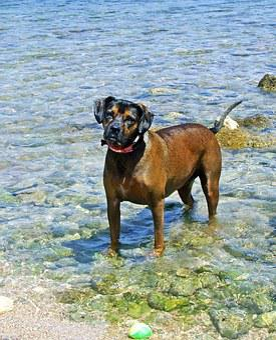 Dog, Dog In The Sea, Brown Dog, Sea, Animal, Summer