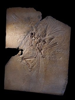 Archeopteryx, Skeleton, Fossil, Archosaurs