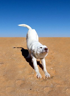 Dog, White, Desert, Animal, Canine, Happy, Playful