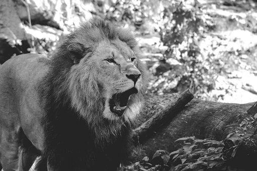 Lion, Zoo, Roar, Males, Predator, Cat