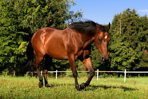 Horse, Quarterhorse, Brown, Pasture, Trot, Ride, Stall