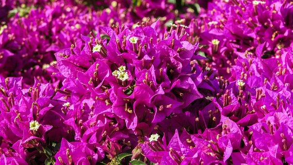 Bougainvillea, Flowers, Purple, Spring, Garden