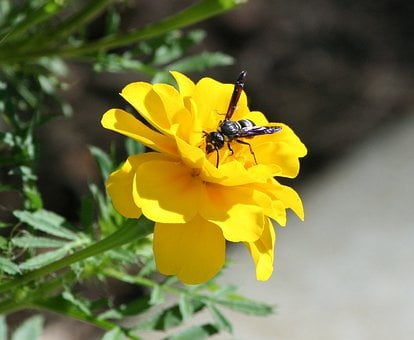 Bee, Wasp, Hornet, Flower, Marigold, Wing, Fly