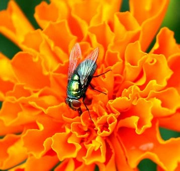 Housefly, Insect, Pest, Wing, Biology, Unhygienic