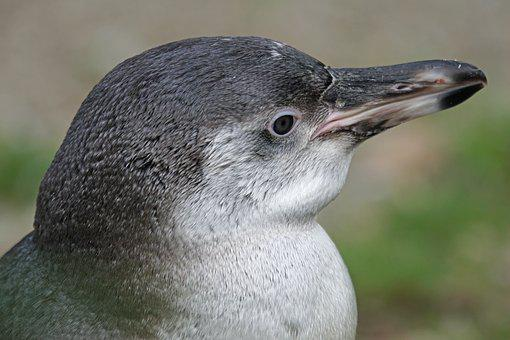Penguin, Humboldt Penguin, Young Animal, Bird