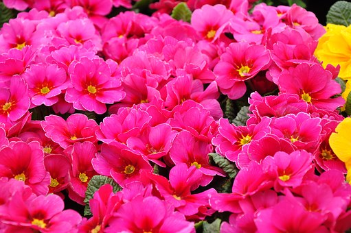 Primula, Spring, Spring Flower, Red
