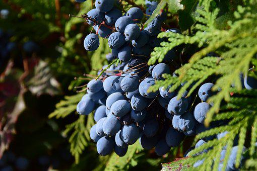 Barberry, Mahonia Bealei, Berries, Berry Blue, Blue