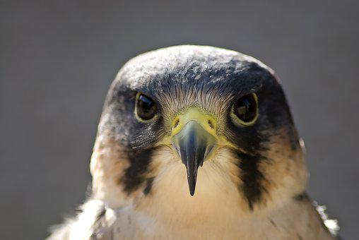 Peregrine, Bird, Beak, Head, Bird Of Prey