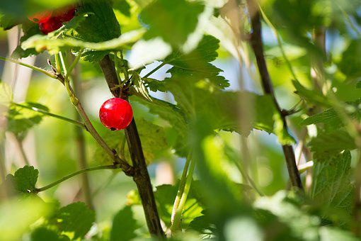 Currant, Red, Red Currant, Garden Currant, Soft Fruit