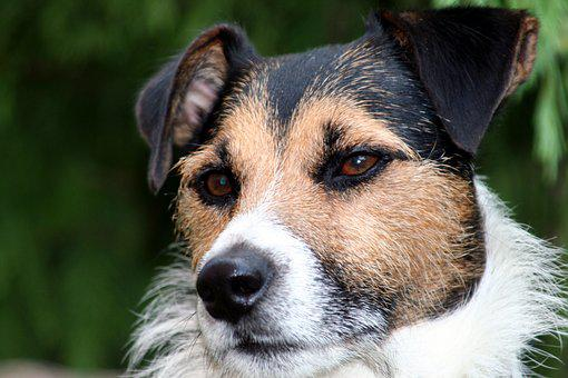 Dog, Jack Russel, By His, Parson Russell, Companion