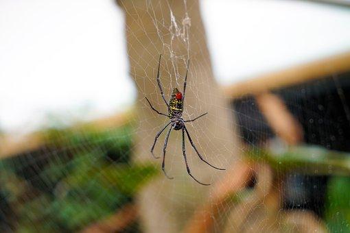 Spider, Orb Spider, Animal, Wildlife, Wild, Orb-weaver