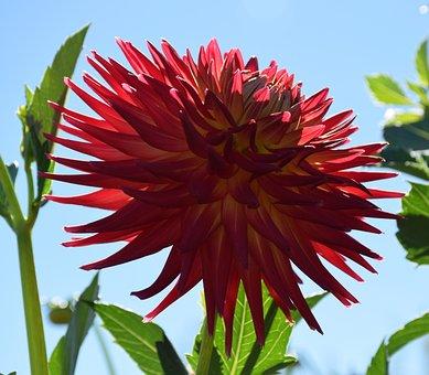 Dahlia, Sun, Red, Bloom, Flower, Summer, Rays Dahlia