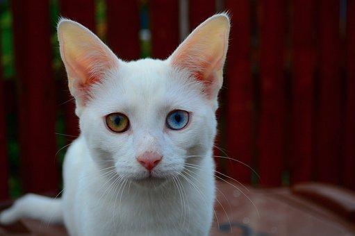 Cat, Kitten, White, Fur, Feline, Mammal, Animal, Pet