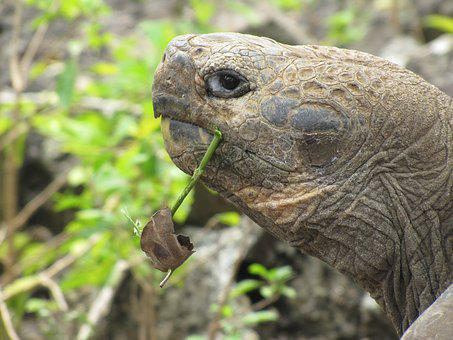 Galapagos Turtle, Giant Turtle, San Cristobal, Tortoise