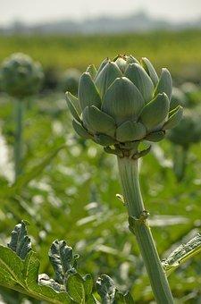 Artichoke, Vegetable, Agricultural, Remodeling, Harvest