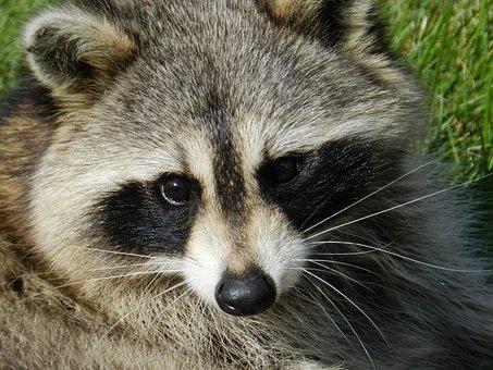Raccoon, Animal, Procyon Lotor, Common Raccoon