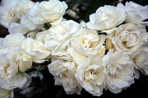 Iceberg Roses, Fragrant, Spring, Garden