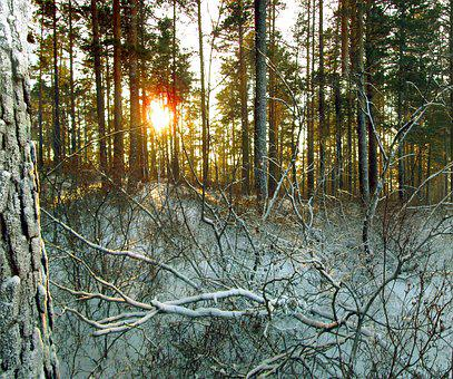 Winter, Forest, Taiga, Nature, Evening, Snow