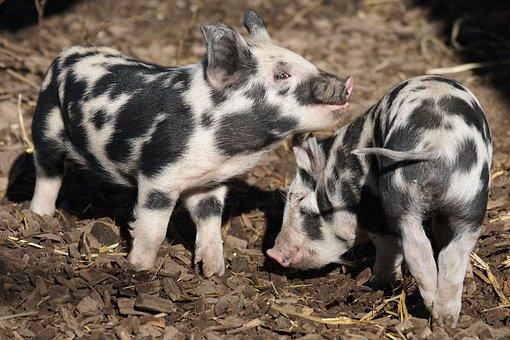 Pig, Turopolje, Piglet, Robust, Frugal, Domestic Pig
