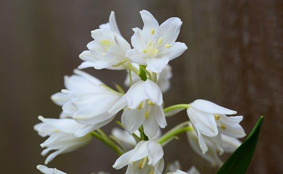 Wood Hyacinth, White, Bell Flower