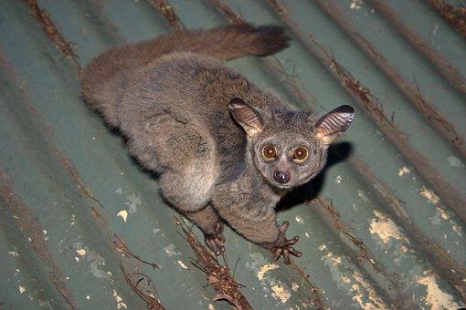 Galago, Bush Baby, Nocturnal, Big Eyes, Large Ears