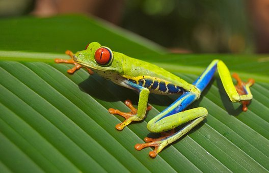 Tree Frog, Frog, Red Eyed, Amphibian, Nature, Green