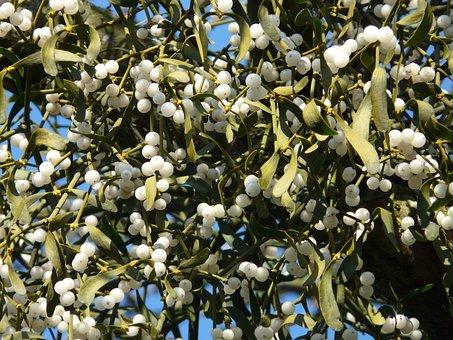 Mistletoe Berries, Mistletoe, Green, Plant, Parasite