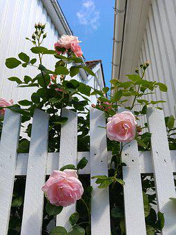 Risør, Sørlandet, Norway, Roses, Pink, Picket Fence