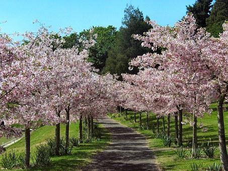 Cherry Blossom, Alley Of Cherry Trees, Pink Flowers
