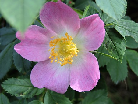 Wild Rose, Rosaceae, Pink, White, Nature, Rose Blooms