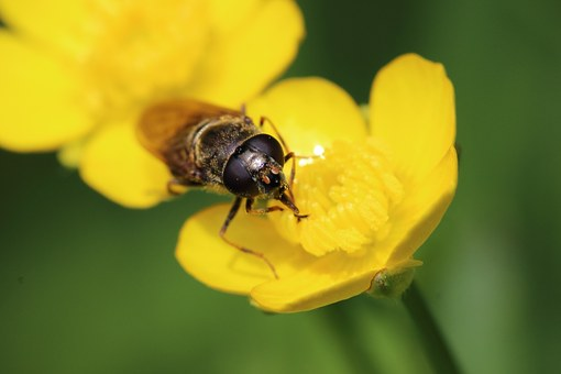 Insect, Blossom, Bloom, Eyes, Compound Eyes, Yellow