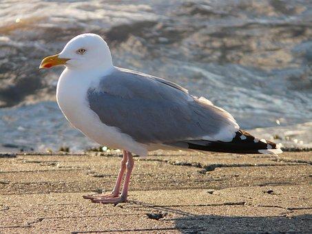 Seagull, Herring Gull, Fluffed Up, Windy