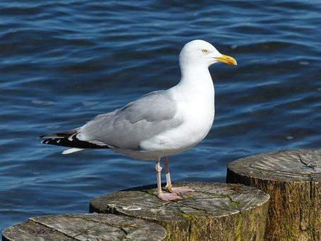Herring Gull, Larus Argentatus, Seagull