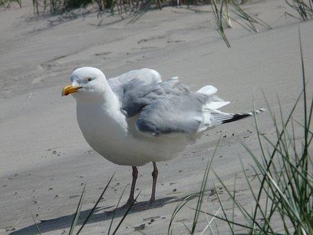 Herring Gull, Seagull, Fluffed Up, Windy