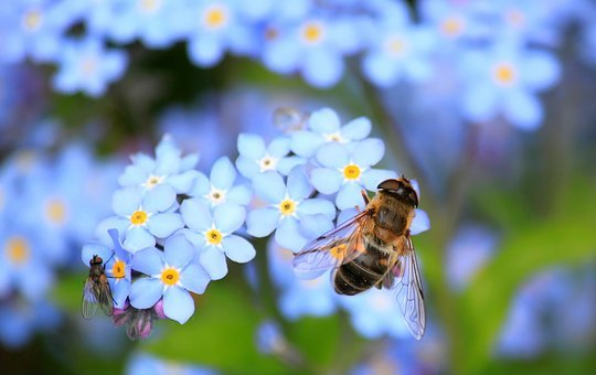 Forget Me Not, Hoverfly, Fly, Flower, Blossom, Bloom