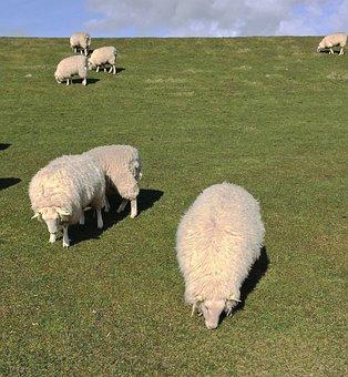 Sheep, Island, Pellworm, North Sea, Wadden Sea