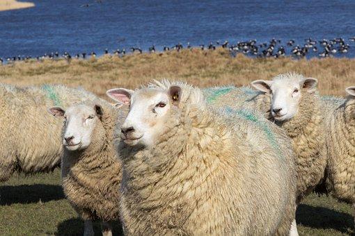 Sheep, Close, Portrait, Face, Meadow, Pasture, Water