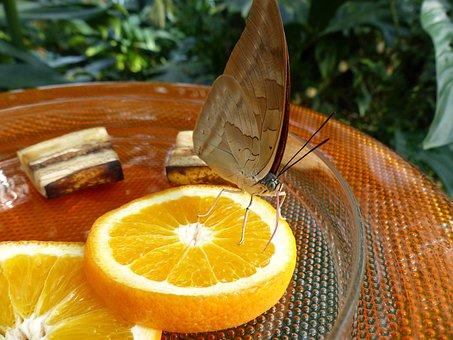 Butterfly, Feeding, Sugar Water, Orange Slices, Oranges